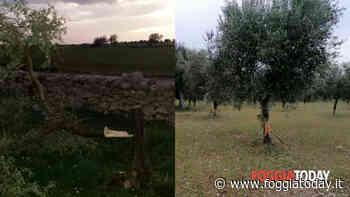 """Folle vandalizza 40 alberi di ulivo. Anni di sfregi, vittima perde la pazienza e si sfoga: """"Sei un vigliacco, vergognati"""" - FoggiaToday"""