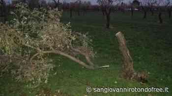 Atti vandalici nelle campagne sangiovannesi. Danneggiati 75 alberi - San Giovanni Rotondo Free