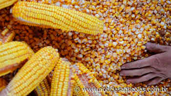 Estoque de milho é abastecido em Marau/RS para venda a pequenos criadores - Notícias Agrícolas