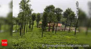 Scientists claim chemicals in Kangra tea could lower coronavirus activity better than HIV drugs