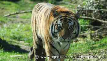 """Parco Natura Viva - Bussolengo (vr) * FASE 2: « giovedì 21 maggio 2020 RIAPRONO I CANCELLI, Sarà la tigre """" Botsman """" l'animale simbolo della ripresa - agenzia giornalistica opinione"""