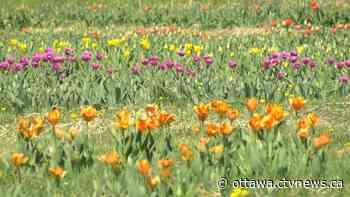 Ottawa's first 'U-Pick Tulip Farm' opens during COVID-19 pandemic - CTV News Ottawa