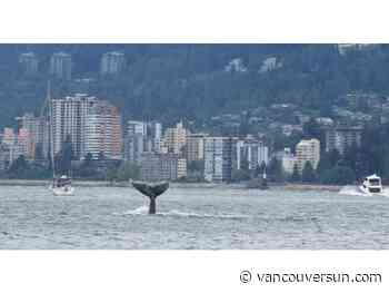 Rare humpback sightings in Vancouver harbour a sign of decades-long recovery