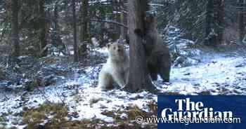 Rare white grizzly bear sighted in Canadian Rockies - The Guardian