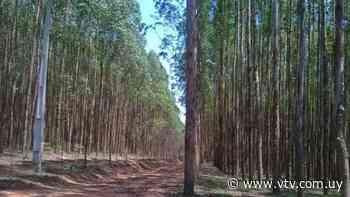 Limitaciones de plantación de eucaliptus: ¿qué piensan los productores? - VTV Noticias