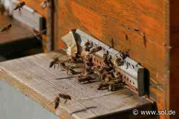 Saarwellingen: Unbekannter tötet Bienenvölker mit Schaum - sol.de