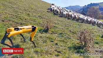 Robot dog tries to herd sheep