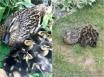 'I couldn't believe it': 12 adorable ducklings hatch in Northampton woman's garden - Northampton Chronicle and Echo