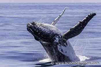 Whale watching season to help boost economy – Bundaberg Now - Bundaberg Now