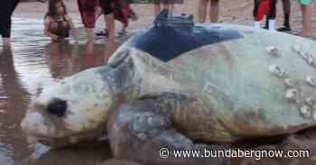 Merlie the loggerhead turtle's record journey home – Bundaberg Now - Bundaberg Now