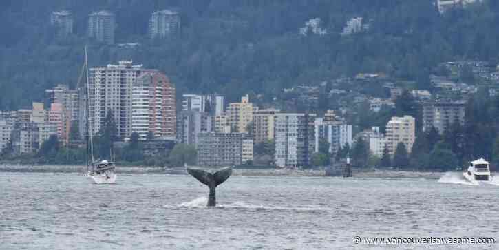 This humpback whale was spotted in Vancouver waters - Vancouver Is Awesome