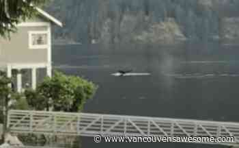 Whale of a time: This cetacean made a splash in Vancouver waters (VIDEOS) - Vancouver Is Awesome