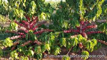 Colheita de café inicia em Cruzeiro do Oeste e promete render bons frutos - ® Portal da Cidade   Umuarama