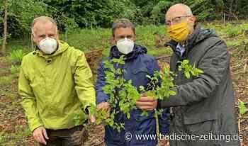 4450 Baumsetzlinge für den Ehrenkirchener Wald - Ehrenkirchen - Badische Zeitung
