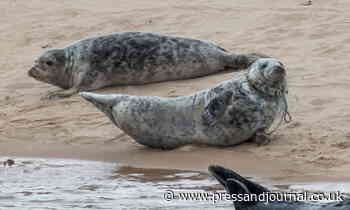 Concern as seal spotted tangled in discarded fishing rope at Aberdeenshire beach - Press and Journal