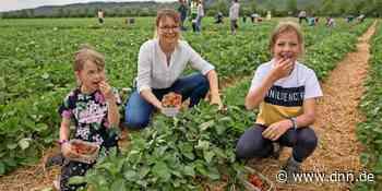 Coswig - Erdbeeren sind reif zum Pflücken - Dresdner Neueste Nachrichten