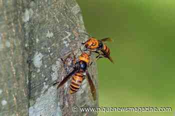 Do 'murder hornets' pose a serious buzzkill?