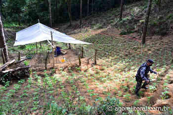 Homem carbonizado em Paranaguá teria plantação de maconha em Quatro Barras - Agora Litoral