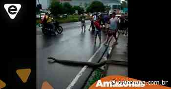 Sucuri gigante é atração ao atravessar avenida de Manaus: veja vídeo - EM TEMPO