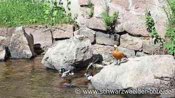 Bad Wildbad: Bei Einkehr das Leben auf der Enz beobachten