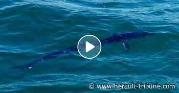 LE CAP D'AGDE - Un espadon de plus de 2 mètres observé à 200 mètres du rivage - Hérault-Tribune