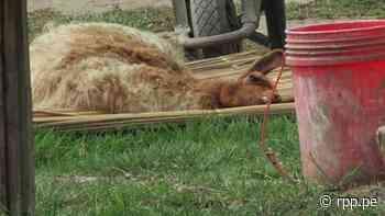 Huaura: vecinos denuncian maltrato de una llama en mini zoológico de Végueta - rpp.pe