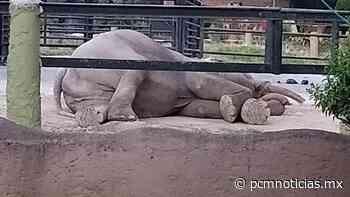 Desmiente Zoológico de Morelia supuesta muerte de elefante - PCM Noticias