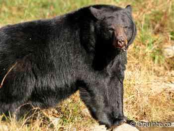 INQUINTE.CA | Black bear sighting near Campbellford - inquinte.ca
