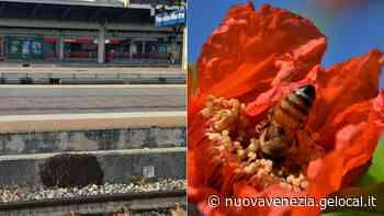 Enorme sciame d'api in stazione a Mestre. La Polfer chiama gli apicoltori - La Nuova Venezia
