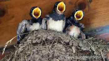 Tierärzte: Jungvögel sind meist nicht auf Hilfe angewiesen - Süddeutsche Zeitung