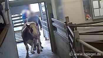 Schlachthöfe: Amtliche Veterinäre schauen Tierquälereien tatenlos zu - und bleiben straffrei - DER SPIEGEL