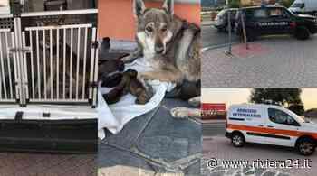 Ventimiglia, recuperati lupa cecoslovacca e sei cuccioli sul Lungo Roja - Riviera24