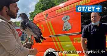 Zoo-Bussard unternimmt einwöchigen Ausflug – Feuerwehr fängt ihn wieder ein