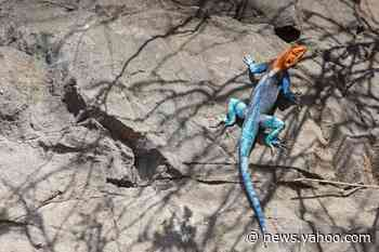 Invasive 'rainbow lizard' population is rapidly increasing in Florida with no end in sight