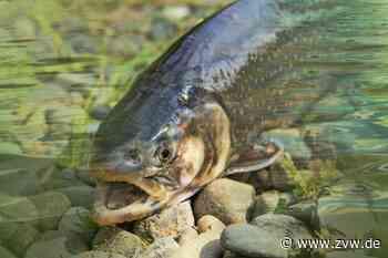 Oppenweiler: Unbekannte töten mehrere Fische bei Rüflensmühle - Blaulicht - Zeitungsverlag Waiblingen