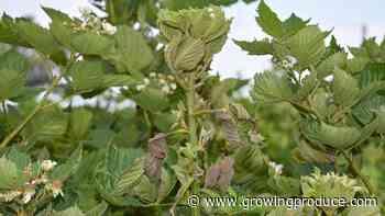 Broad Mite Fight in Blackberries Rages On
