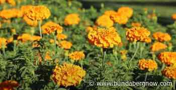 Seasonal flowers brighten Buss Park – Bundaberg Now - Bundaberg Now