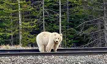 Ultra rare white grizzly bear spotted near a tourist resort in Banff National Park - Daily Mail