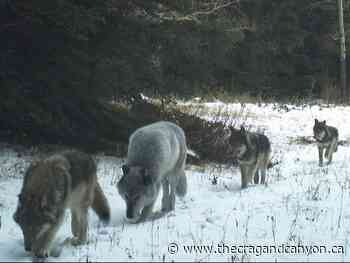 Bow Valley alpha male wolf killed on highway near Banff - The Crag and Canyon