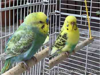 Can you help Northampton girl reunite with her two cherished escaped budgies? - Northampton Chronicle and Echo