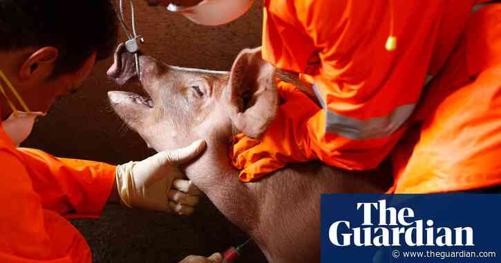 'Unstoppable': African swine fever deaths to eclipse record 2019 toll