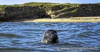 Un phoque s'invite au milieu des surfeurs à Guidel - Le Télégramme