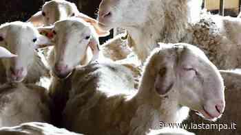 Il tosatore francese non può passare il confine, per ora niente lana dalle pecore di Langa - La Stampa