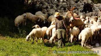 Sconfina col gregge nel suo terreno, pastore aggredisce 'collega' a Guastalla - Gazzetta di Parma
