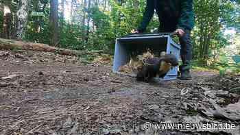 Natuurhulpcentrum zet voor het eerst een boommarter terug in de natuur