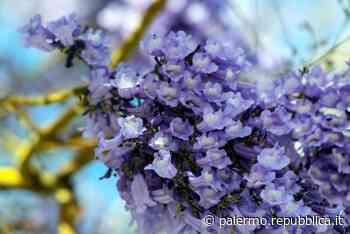 Maggio, Palermo si riempie di lilla, nei viali le Jacarande in fiore - La Repubblica