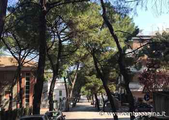Falconara Marittima, petizione per salvare i pini di via Gobetti - Centropagina