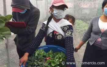 En Cotacachi y Tulcán se impulsa la creación de huertos como alternativa alimenticia - El Comercio (Ecuador)