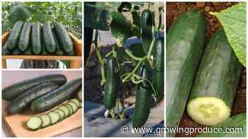12 Cucumber Varieties for 2020