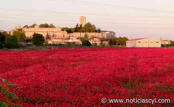 El campo de amapolas más famoso de Zamora lleva su belleza hasta Japón - Noticiascyl